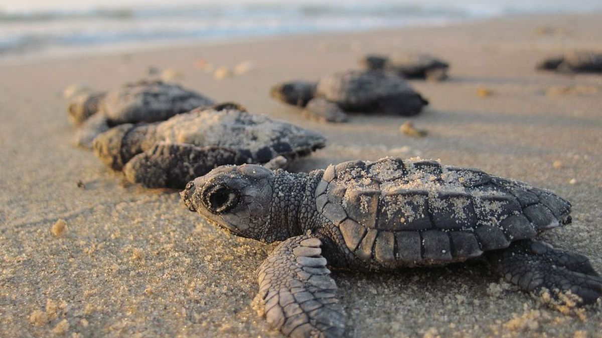 Generic baby sea turtle picture