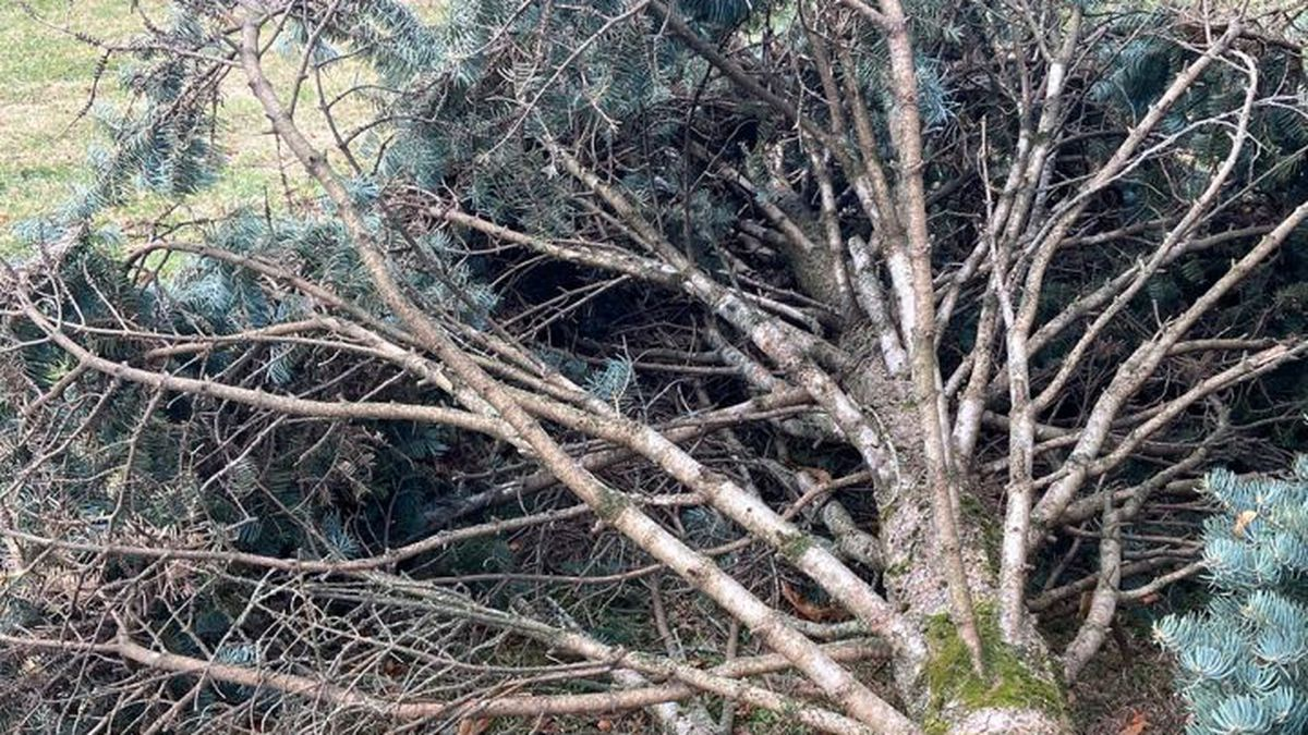 The UW Police Dept. is searching for whoever stole a rare 25-foot pine tree and cut the top off...