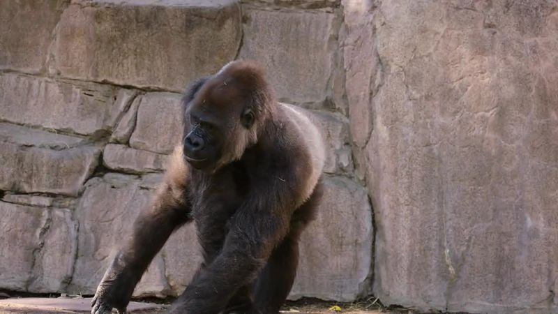 """""""We suspect that the gorillas got this virus from an asymptomatic team member. And that's..."""