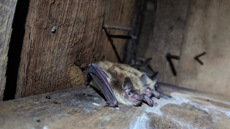 The DNR is encouraging people to remove bats from their homes humanely and well before summer.