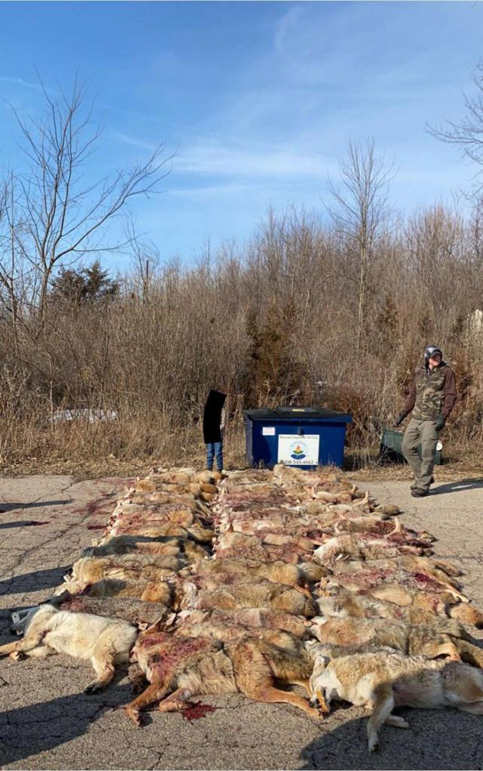 Piles of dead coyotes at a competition in Merrimac on March 5th, 6th, 7th