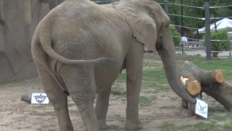 Belle the elephant predicts Bucks win