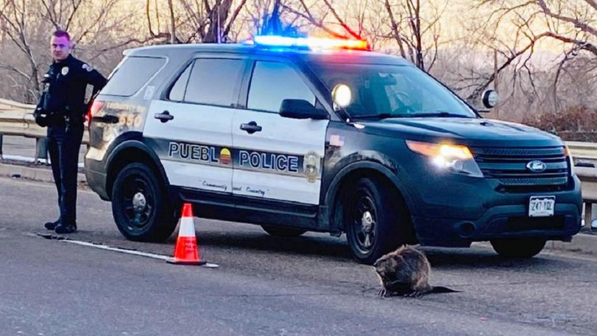 Police block traffic for a beaver. Photo courtesy Pueblo PD 2/12/20.
