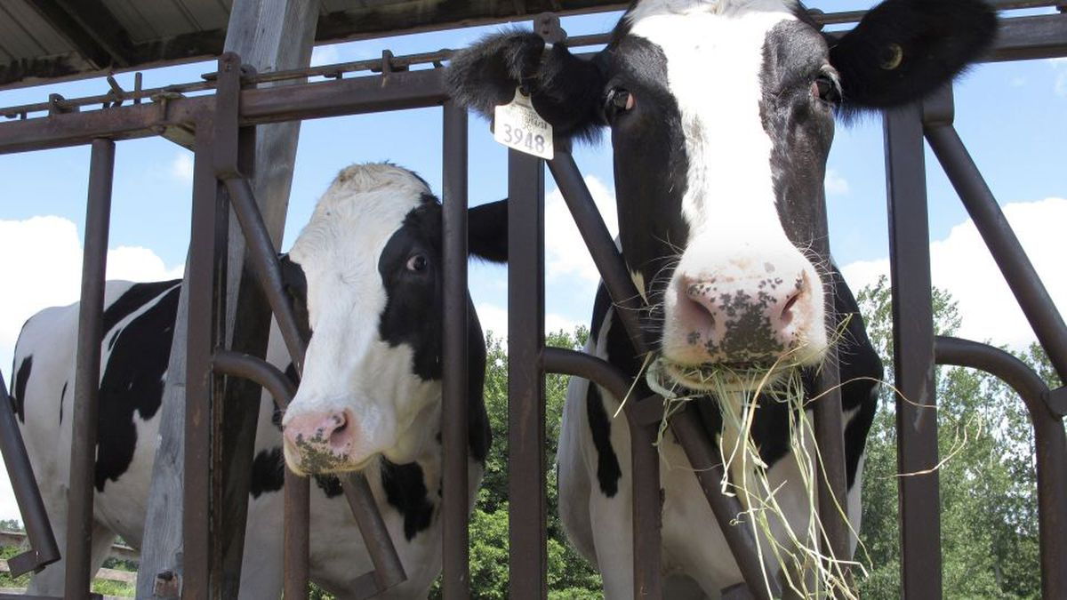FILE - Cows on pasture at the University of Vermont dairy farm eat hay in a Thursday, July 23, 2020 file photo, in Burlington, Vt. (AP Photo/Lisa Rathk, Filee)