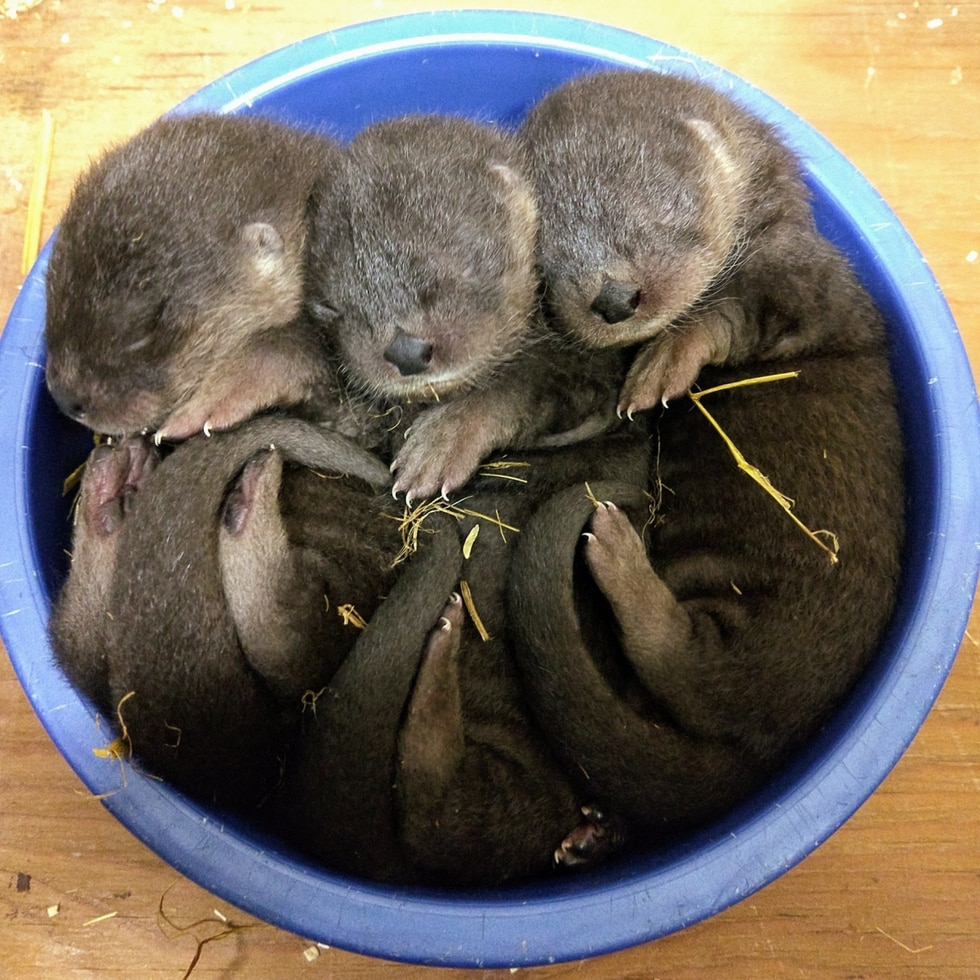 Three otter pups were born at the Henry Vilas Zoo.