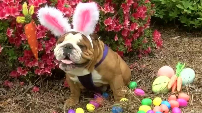 NC bulldog named Cadbury's newest bunny / (Source: WECT)