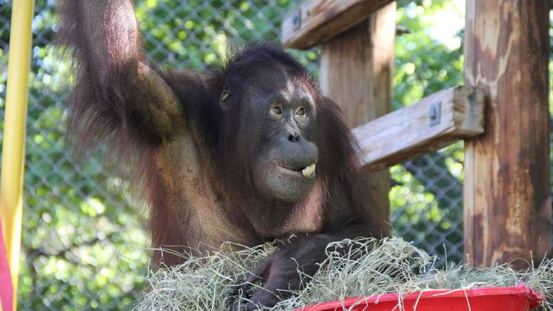 Henry Vilas Zoo's 20-year-old orangutan makes the move to Utah as part of a breeding program.