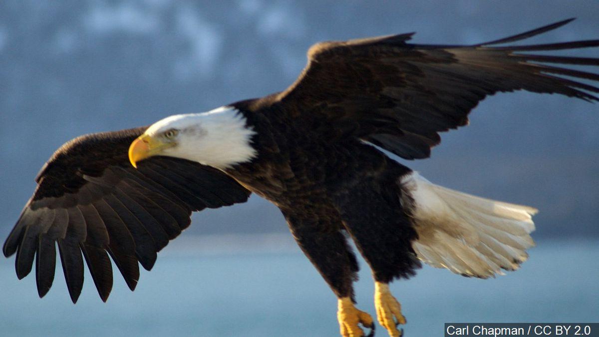 Eagle v. EGLE: Bald eagle attacks and destroys EGLE drone