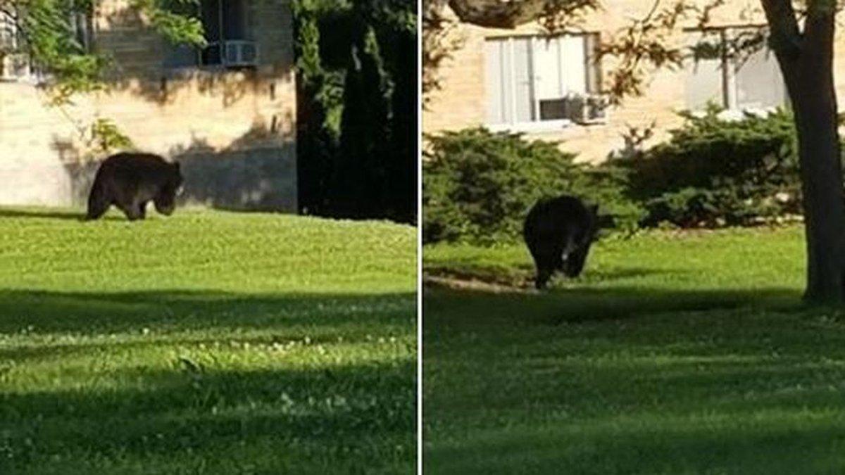 Photos show a bear roaming the UW-Platteville campus Monday (Source: Platteville Police...