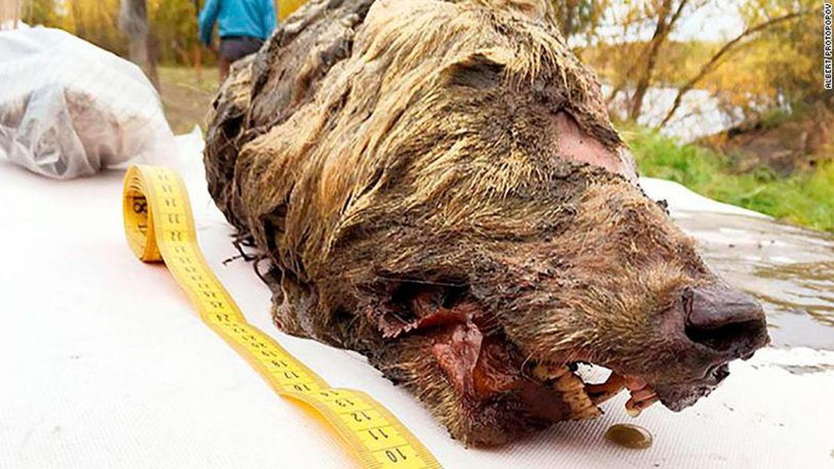 The wolf's head was found by locals looking for mammoth ivory. (CNN)