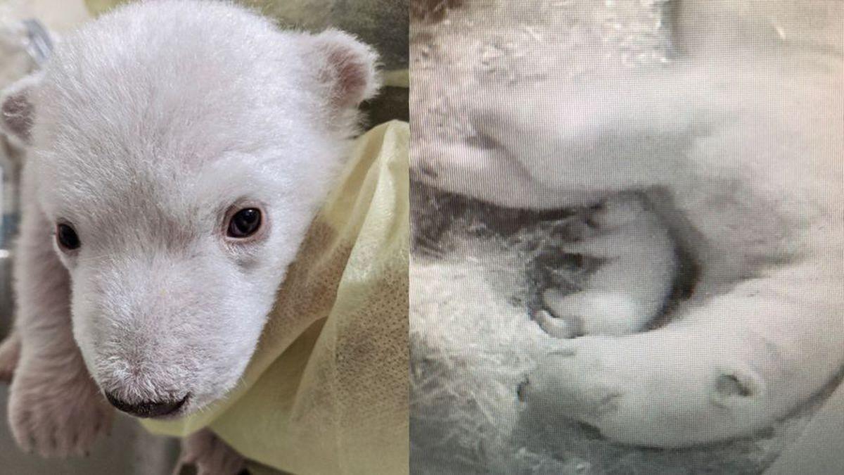 It's twins! Detroit Zoo announces birth of 2 polar bear cubs