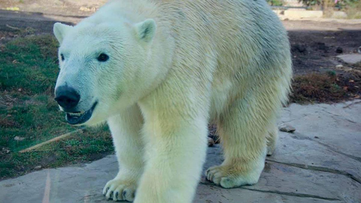 "The Henry Vilas Zoo debuts its new polar bear, ""Borealis,"" on Nov. 18, 2020."