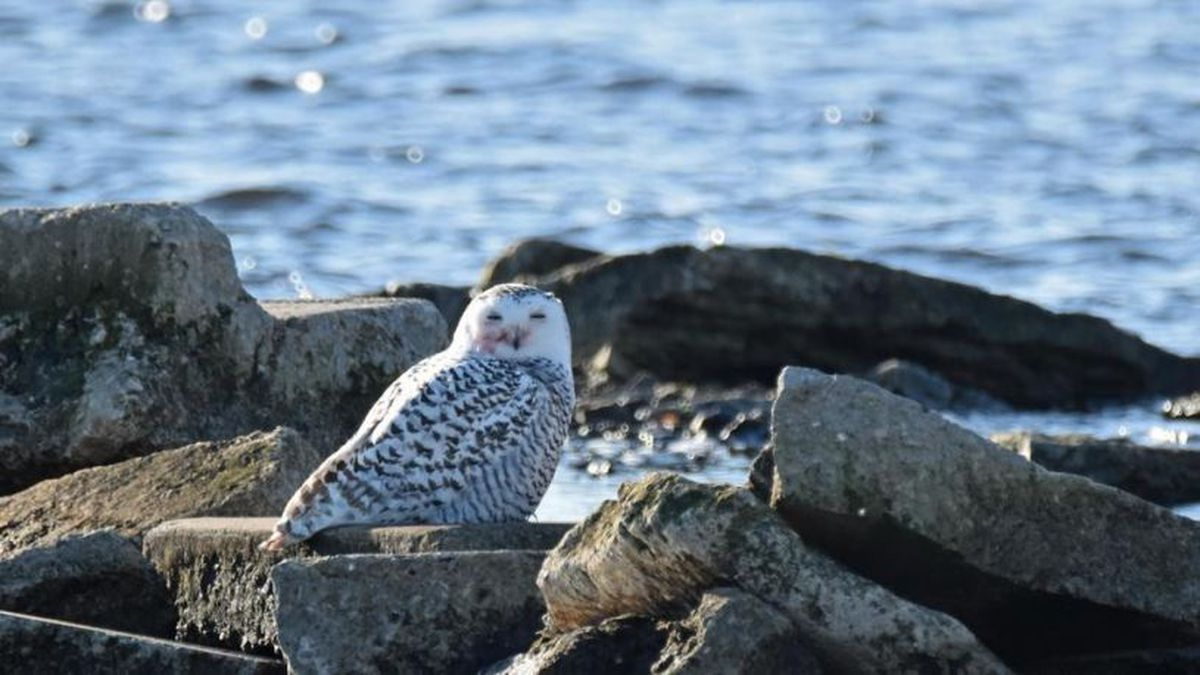 A snowy owl perches on rocks at Oconto Breakwater Park Nov. 24, 2019. (Photo submitted by Jim Malueg)