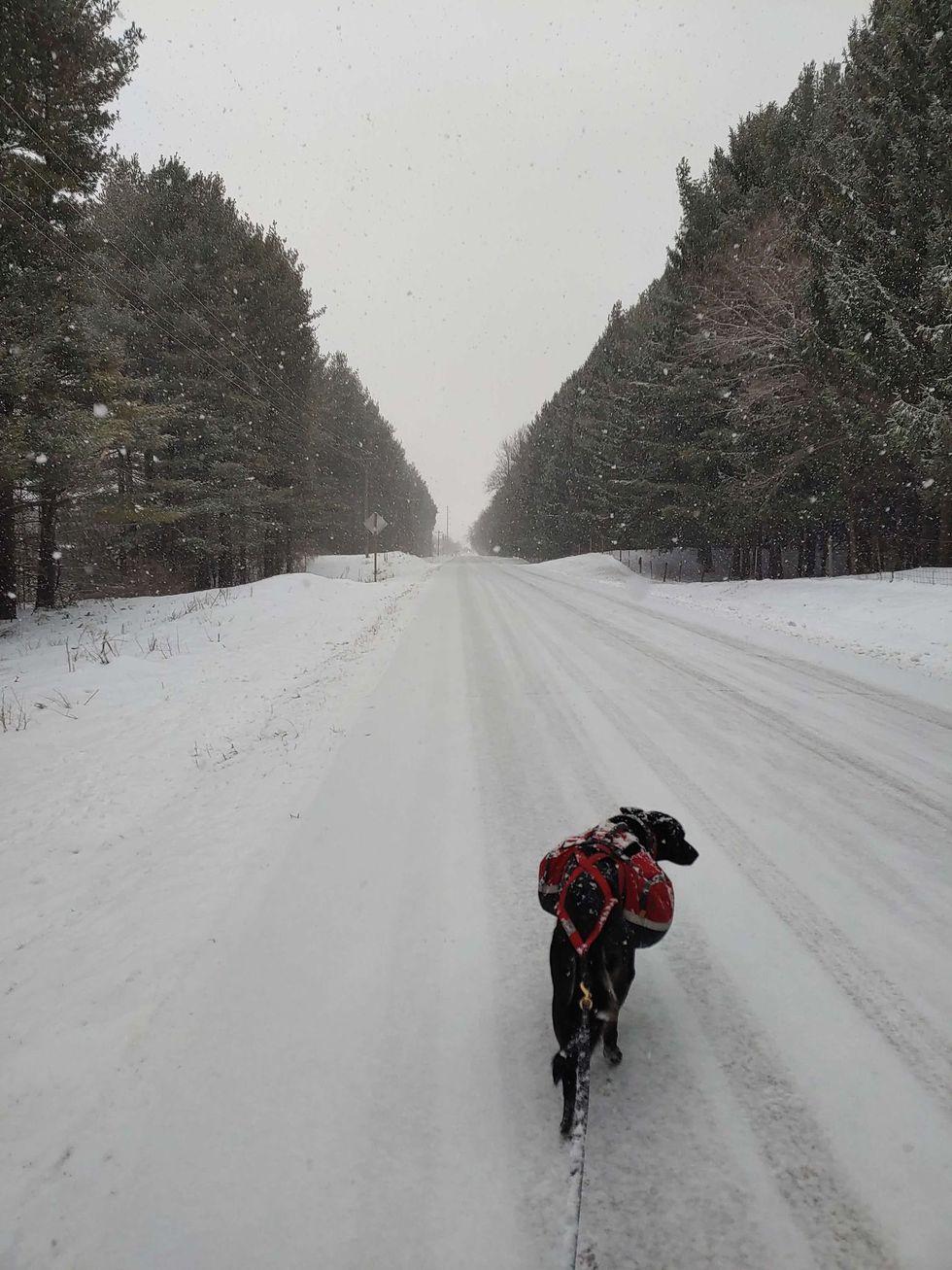 Diggins the Minnesotan sled dog hikes along a snowy road