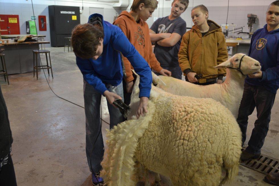 Weston High School teacher and FFA advisor Randi Osborne's students shear sheep.