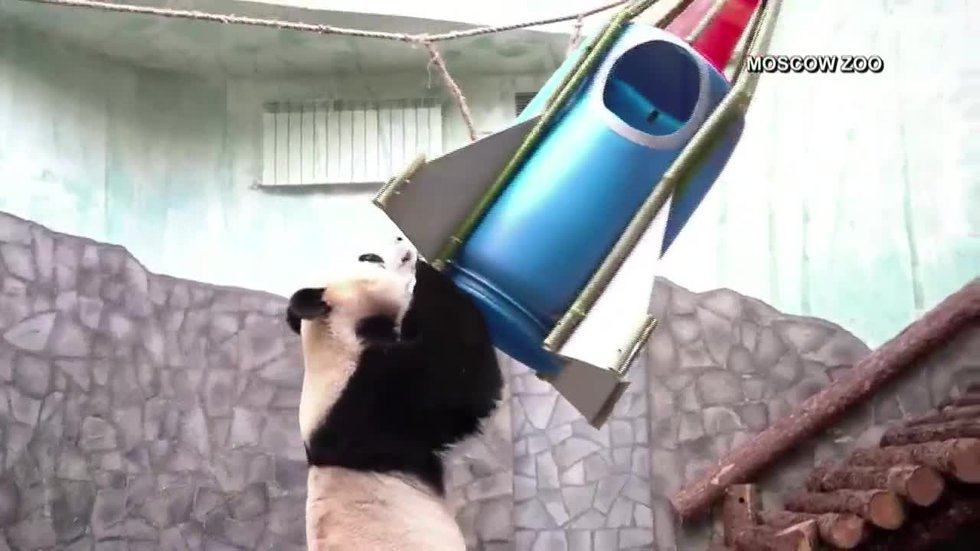 Ru Yi, the panda, had his chance to lift off on a bamboo rocket made especially for him by zoo...
