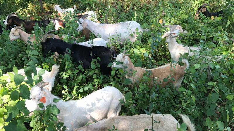 Goats clear invasive species from Lake View Community School.