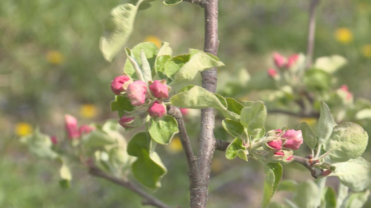 Apples are just starting to bloom at Door Creek Orchard.