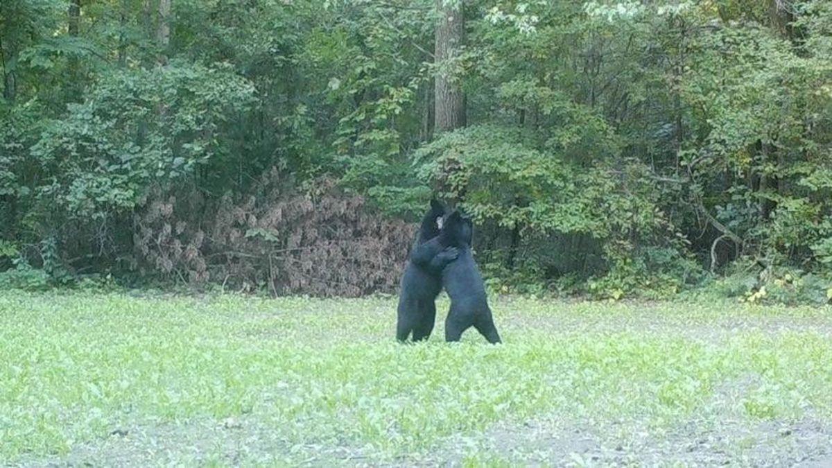 A trail camera in Gresham captures two bears hugging. (Photo courtesy of Joel Pueper via FOX11)