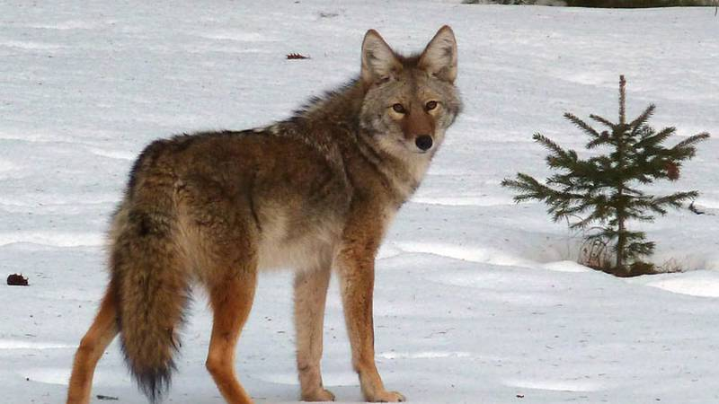 The coyote population is stable to increasing, according to the DNR