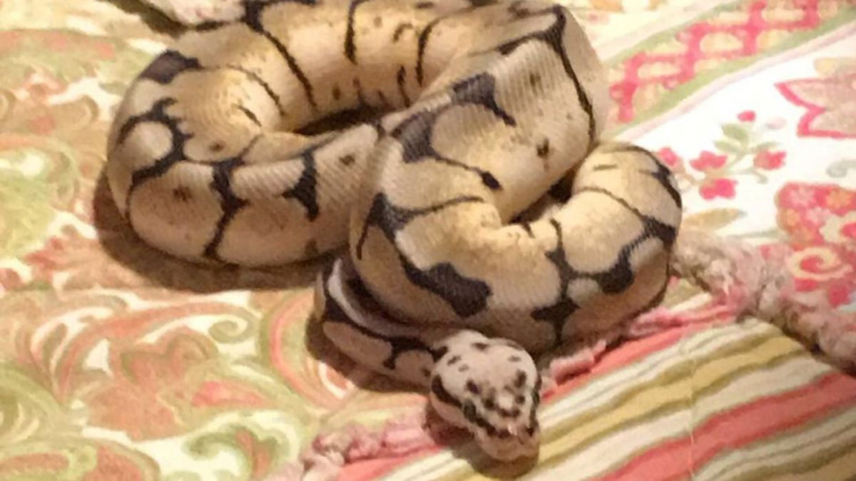 The Iowa Co. Sheriff's Office is searching for this python after it was reported stolen on Saturday, September 26, 2020.